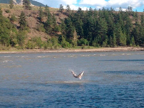Hooked Sturgeon Leaping Fraser River British Columbia